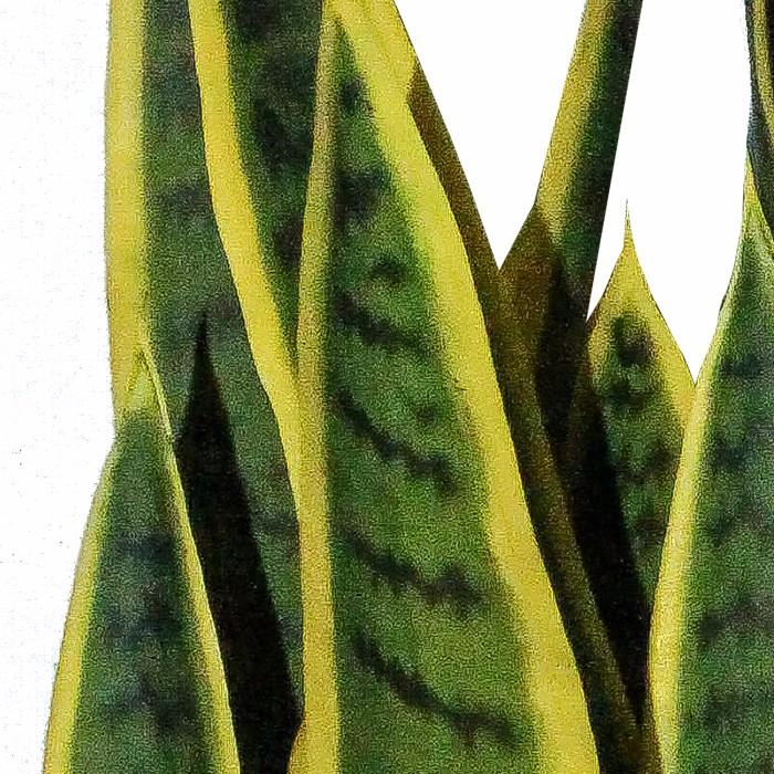 35叶黄边外母舌盆栽_ 仿真植物盆栽批发_适合放客厅的绿植